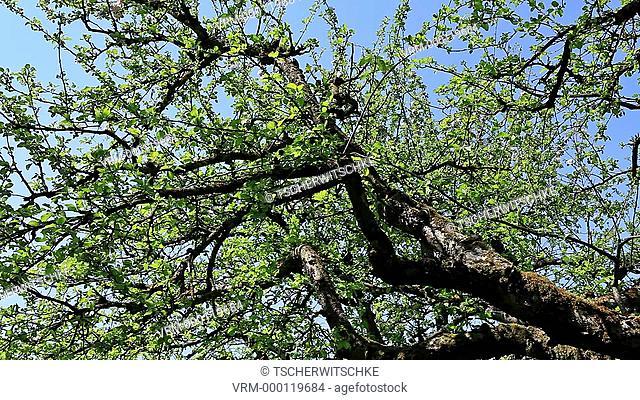 Blooming tree, Bavaria, Germany, Europe