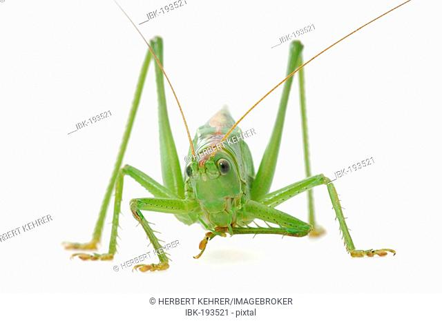 Bush-cricket (Tettigonia viridissima)