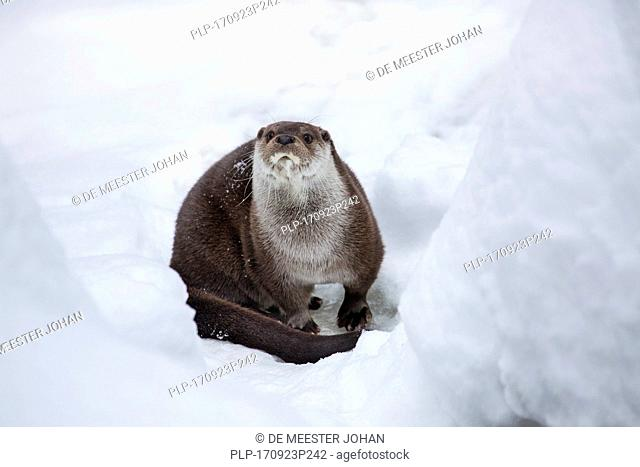 European river otter (Lutra lutra) on riverbank in deep snow in winter
