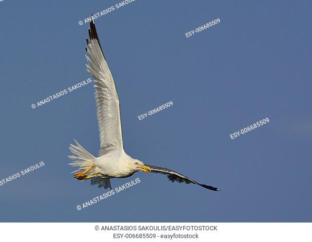 Yellow-legged Gull (Larus michahellis), Crete, Greece