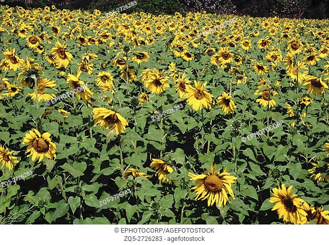 Sunflower. Flowering crop in field