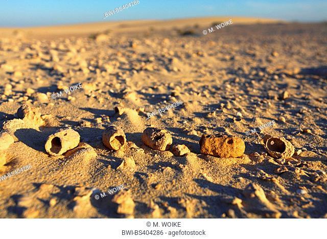 flower bee (Anthophora spec.), subfossil urn nests in the dunes near Corralejo, Canary Islands, Fuerteventura