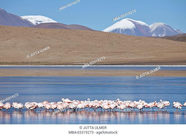Bolivia, Los Lipez, Laguna Canapa, Andes flamingos