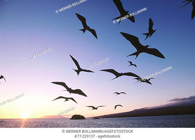 Frigate Birds (Fregata sp.). Fernandina. Galápagos Islands