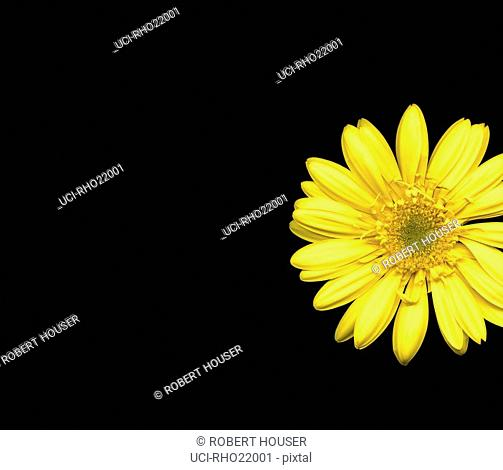 Studio shot of Gerber daisy