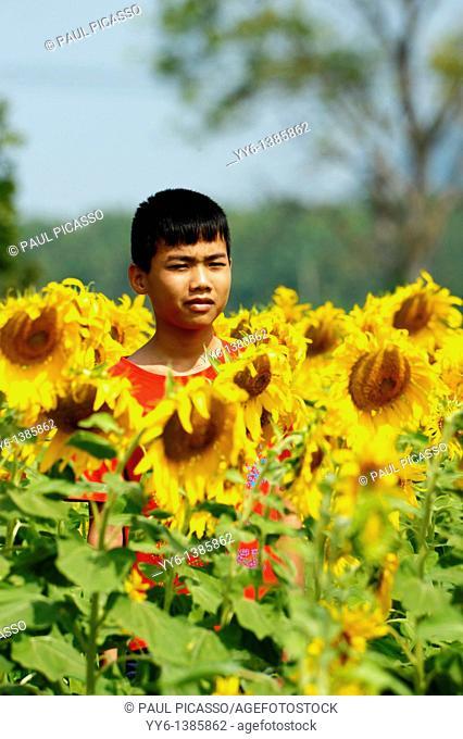 young thai boy in sunflower field , sunflower fields of lopburi , central thailand