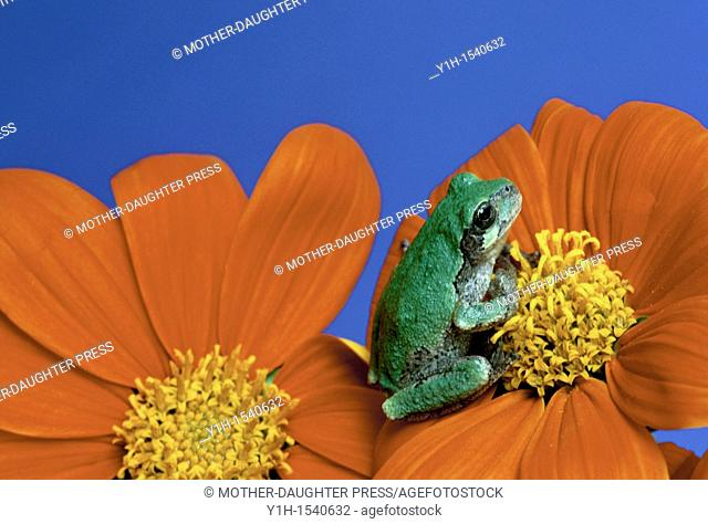 Eastern grey treefrog, Hyla versicolor, in its green phase, sits in contemplation on a red Tithonia flower
