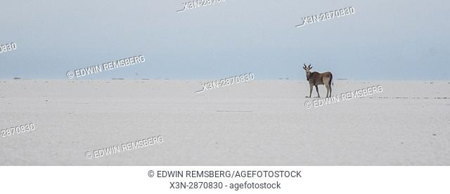 An eland walks alone into the salt pans of Etosha National Park in Namibia, Africa