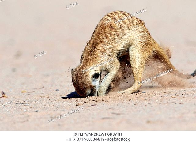 Meerkat (Suricata suricatta) adult, digging in sand for food, Kalahari Gemsbok N.P., Kgalagadi Transfrontier Park, Northern Cape, South Africa, December