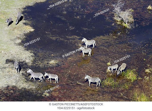 Aerial view of Burchell's Zebra (Equus quagga burchelli), in the flood plain, Okavango Delta, Botswana. The Okavango Delta is home to a rich array of wildlife