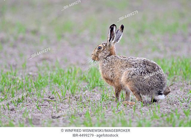 European hare (Lepus europaeus) on a grainfield, Texel Island, The Netherlands