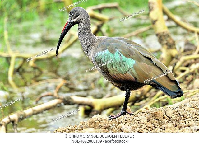 Colourful Hadada Ibis in Africa