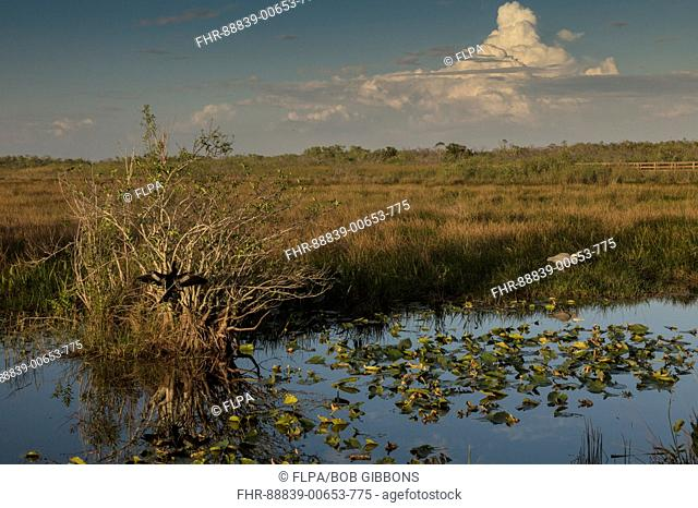 Pond apple trees, Annona glabra, with Great Blue Heron in the Everglades National Park, along the Anhinga trail. Florida