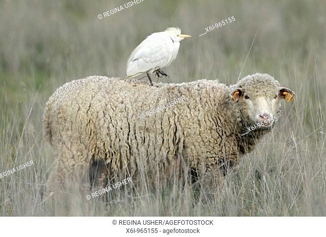 Cattle Egret Bubulcus ibis, riding on merino sheep's back, Portugal
