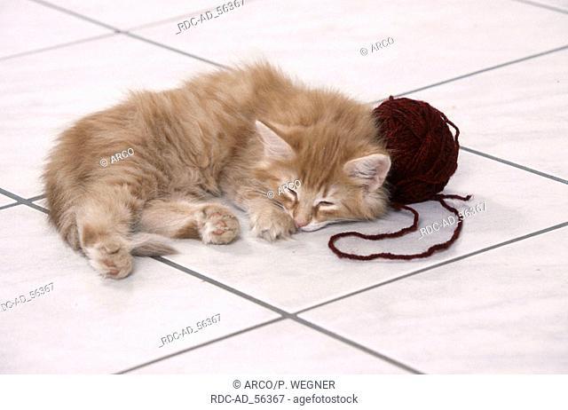Norwegian Forest Cat kitten sleeping next to ball of wool