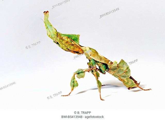 ghost mantis (Phyllocrania paradoxa), weirdly shaped ghost mantis im