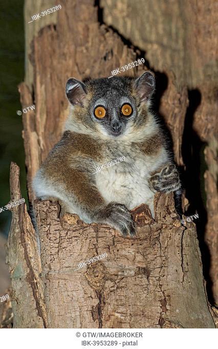 White-footed Sportive Lemur (Lepilemur leucopus) in a tree hole, Toliara Province, Madagascar