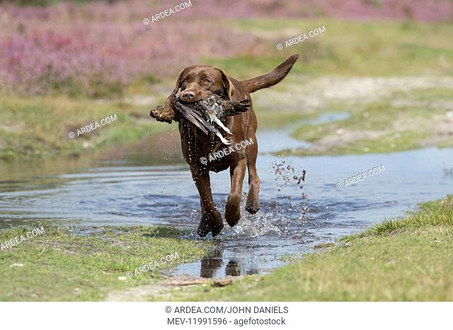 DOG. Chocolate labrador Retriever running carrying a Grouse