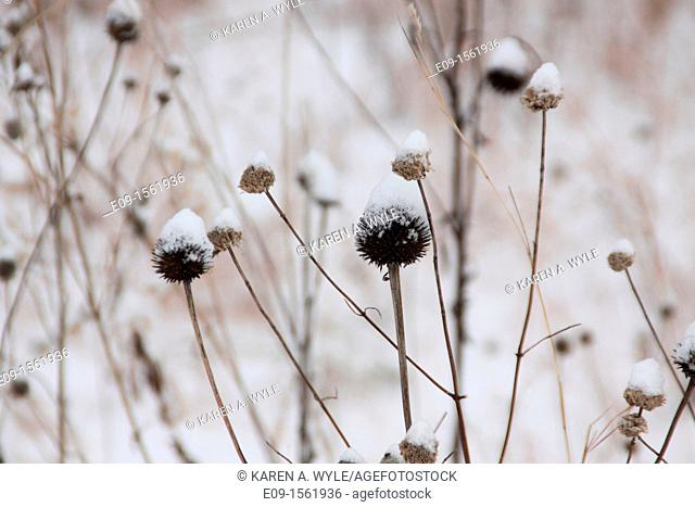 coneflowers, aka echinacea, in winter, brown, with snow on them, sepia-toned