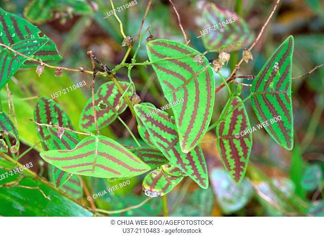 Leaves. Image taken at Kampung Pandan, Lundu, Sarawak, Malaysia