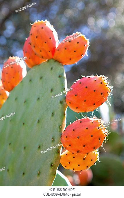 Close of prickly pear, Mallorca, Spain