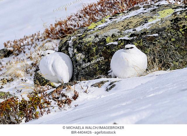 Ptarmigans (Lagopus muta) sitting in snow, female and male in winter plumage, Tyrol, Austria
