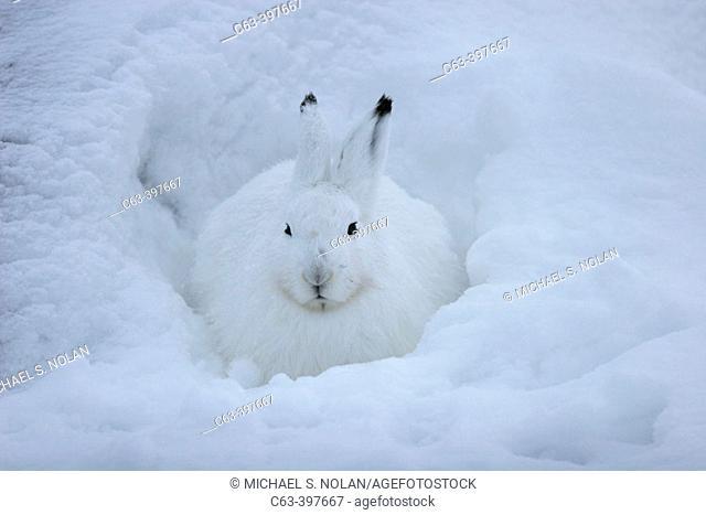 Adult Arctic Hare (Lepus arcticus) near Churchill, Manitoba, Canada along the shores of Hudson Bay