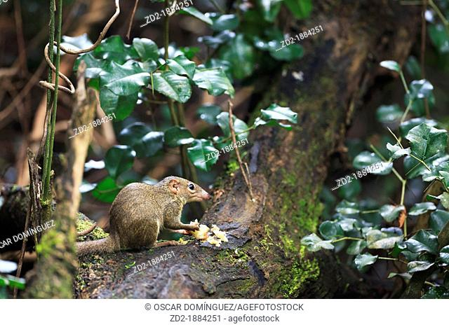 Northern Treeshrew Tupaia belangeri feeding fruits in the forest  Kaeng Krachan National Park  Thailand