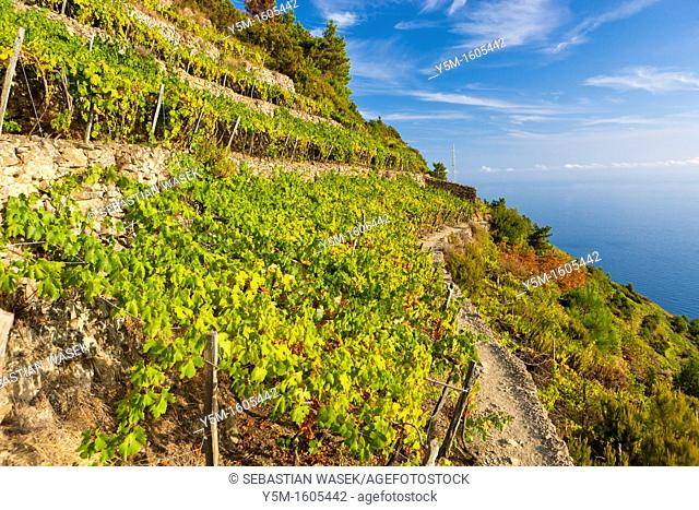 Terraced vineyards, Volastra, Cinque Terre National Park, Province of La Spezia, Liguria, Italy, Europe