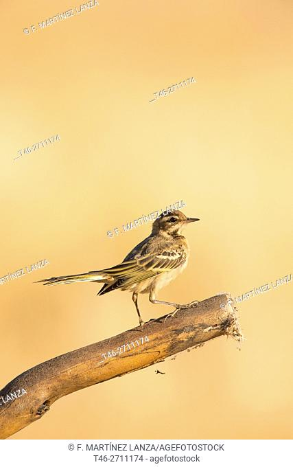 Yellow wagtail (Motacilla flava), photographed in Campo de San Pedro, Segovia province, Spain