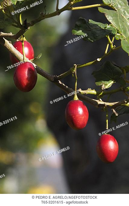 In the image fruits of Tree Tomato, Solanum betaceum, common names, tree tomato, Andean tomato, serrano tomato, yucca tomato, Nordic handle, or eggplant