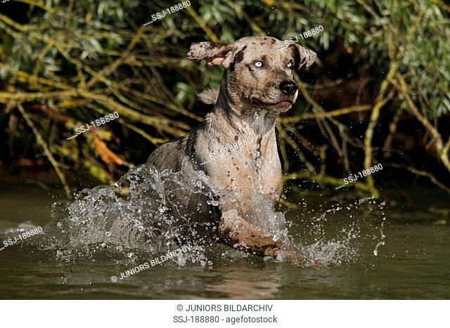 Louisiana Catahoula Leopard Dog. Adult running in water. Germany