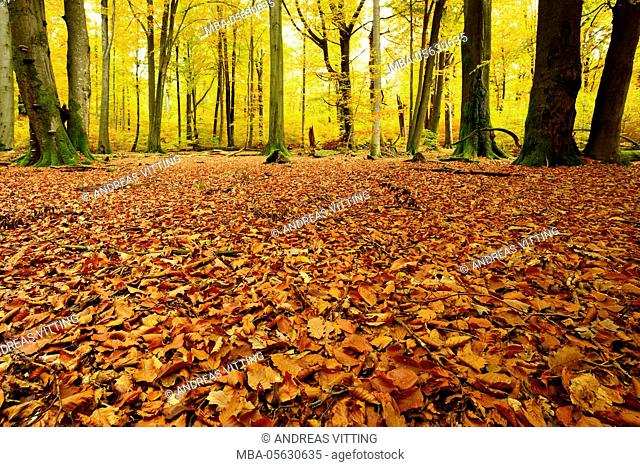 leaves carpet in nearly natural mixed deciduous forest with old oaks and beeches, autumn, Spessart Nature Park, Weibersbrunn, Bavaria, Germany, Europe
