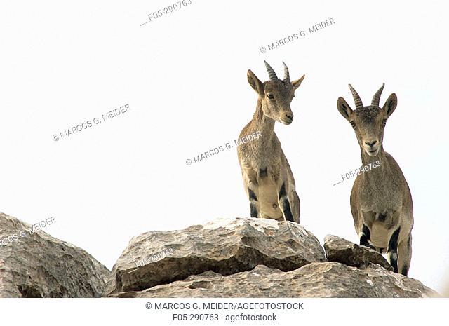 Spanish Ibex (Capra pyrenaica). Torcal de Antequera Natural Park. Málaga province, Spain