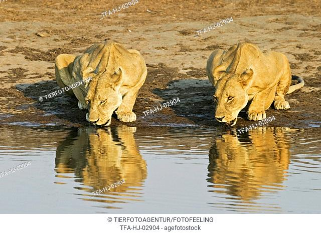 drinking lions