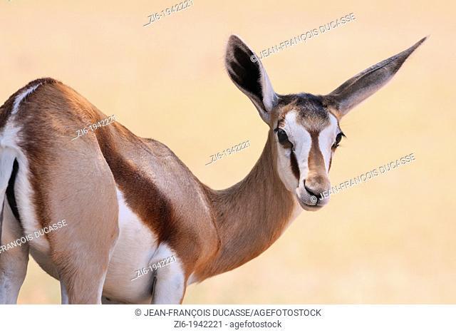 Springbok, Antidorcas marsupialis, Kgalagadi Transfrontier Park, Northern Cape, South Africa