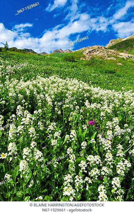 Wildflowers, American Basin, San Juan Mountains range of the Rocky Mountains, Southwest Colorado USA