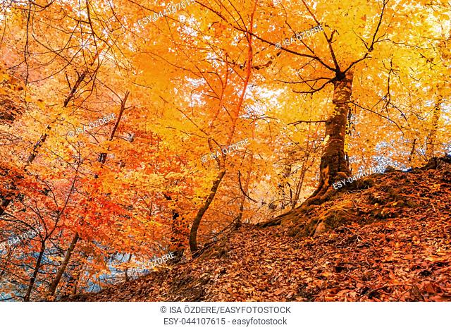 View of trees with orange and red leaves in autumn. Morning scene in colorful woodland. Nature concept background