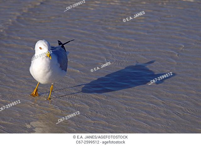 Ring-billed Gull Larus delawarensis and shadow Fort Myers beach Gulf Coast Florida USA