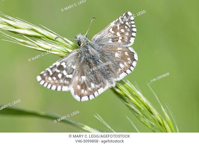 "Safflower Skipper, Pyrgus carthami, small speckled skipper butterfly with wingspan of 30â. ""34 mm. food plants: Potentilla, Malva, Althaea, Centaurea"