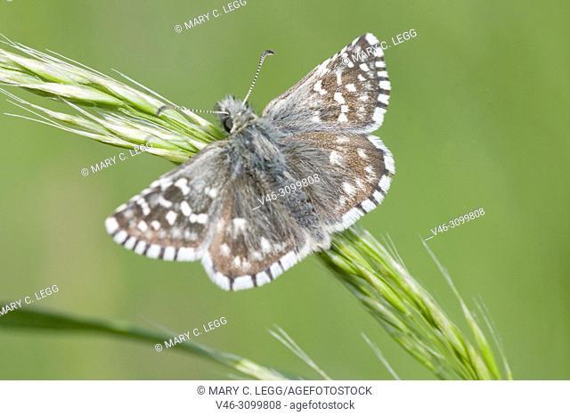 "Safflower Skipper, Pyrgus carthami, small speckled skipper butterfly with wingspan of 30â. ""34 mm. food plants: Potentilla, Malva, Althaea, Centaurea"