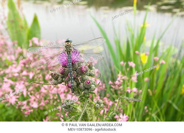 Hairy Dragonfly - Male on marsh thistle (Brachytron pratense). The Netherlands, Overijssel, De Wieden