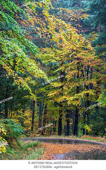 Beech and pine forest, Valle de Hecho, Valles Occidentales Natural Park, Pyrenees Mountains, Huesca province, Aragon, Spain