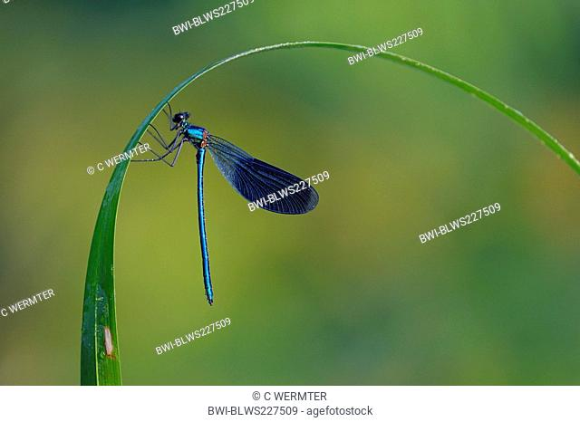 banded blackwings, banded agrion, banded demoiselle Calopteryx splendens, Agrion splendens, male at a blade of reed, covered with drops of morning dew , Germany