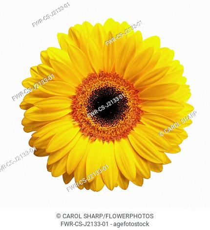 Gerbera daisy, Gerbera jamesonii, Yellow flower with a black centre, viewed from overhead cut out on white