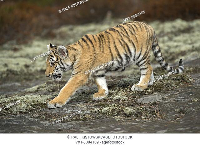 Royal Bengal Tiger ( Panthera tigris ), walking, sneaking over a rock plateau, full body side view, young animal in natural surrounding