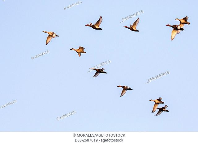 South east Asia, India,Assam state,Brahmapoutra,ducks in flight,Eurasian wigeon, also known as widgeon or Eurasian widgeon (Anas penelope)