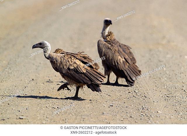 White-backed vulture (Gyps africanus), kruger National Park, South Africa