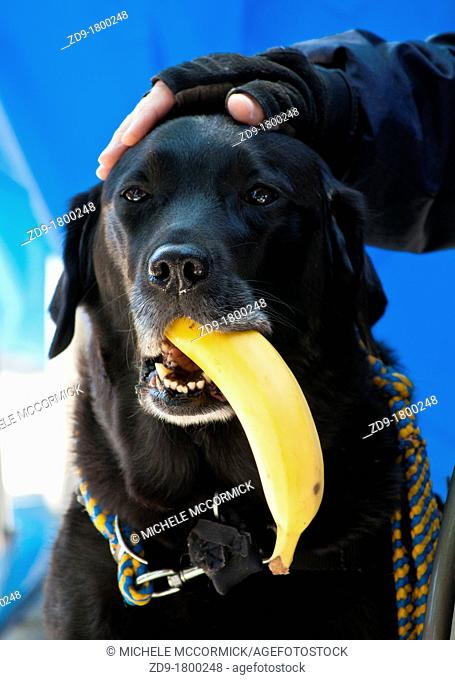This canine companion has been trained to gently hold a banana and bring it to its owner