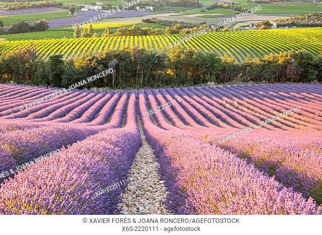 Lavander fields and vineyards in the Drôme Provençale, Drôme, France